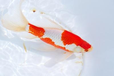 突発!浜松金魚ツアー3 すっごい金魚がいっぱい!