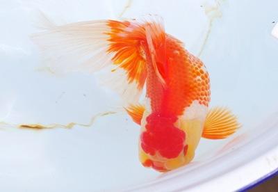 突発!浜松金魚ツアー6 中部オランダ初めて見た!∑(`・д・´ノ)ノ