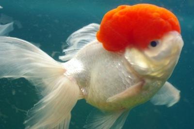 コメットが泳ぐ池――愛媛・臥龍養魚場へ