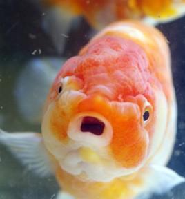 兼錦さんの金魚、スゴかった!!∑(`・д・´ノ)ノ・・・関東ミニ遠征5