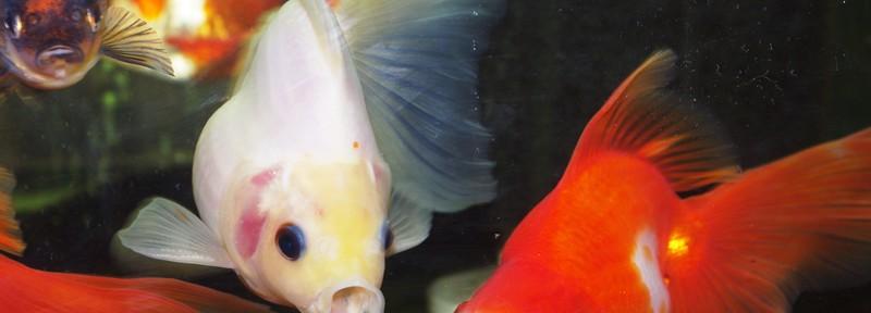金魚の「ア~ッ!」