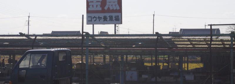 1)関西で金魚1dayツアー(コウヤ養魚場に行ったです)