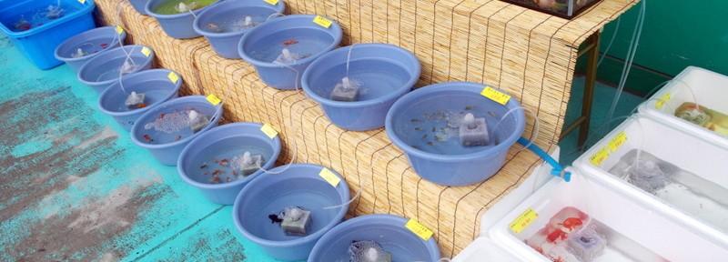 松山に「良い金魚」が来たゾヽ(´ー`)ノ