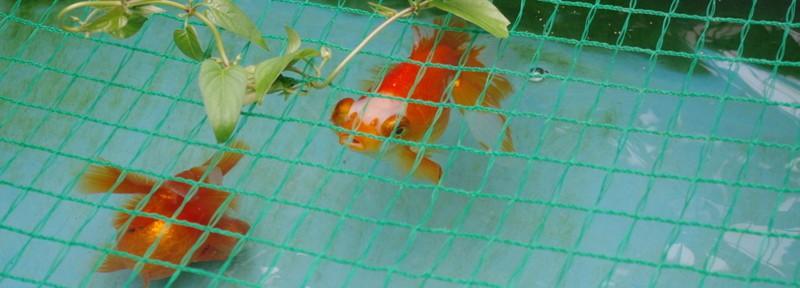 (6)金魚ツアー報告 蝶尾の館にGO!