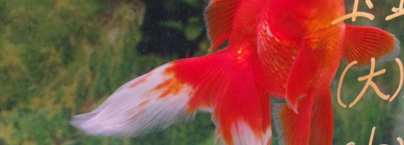 2)沖縄金魚紀行 初の専門店「金魚館」は楽しい!