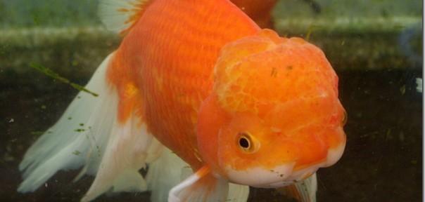 斧田観賞魚センター!金魚編・関西ツアー2012夏その4