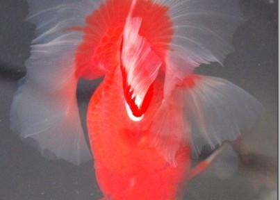 迫力と美の極み!親魚!(4)全国土佐錦魚品評大会