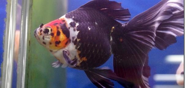 見たことない金魚がずらり!リミックスさん@名古屋~岡崎その2
