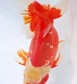 圧巻!圧倒!親魚!日本オランダ品評会レポ4
