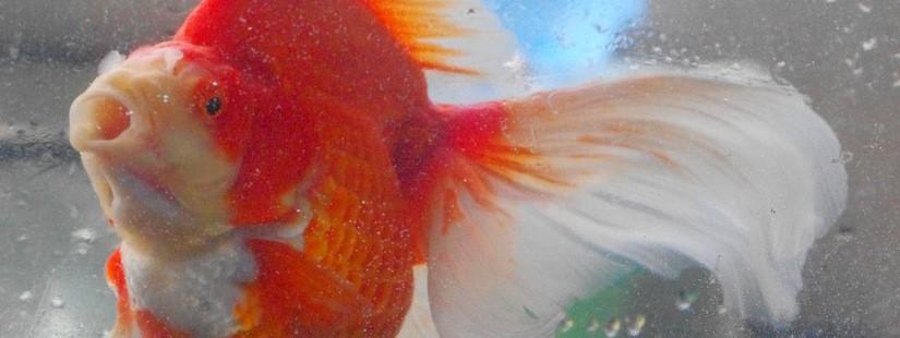 金魚で落ち込み金魚でアガるwww
