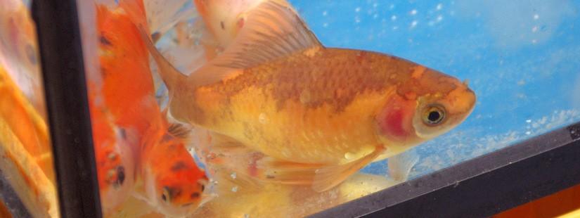 金魚の先祖とか学名とか