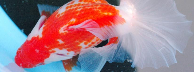 宇和島に土佐錦魚を見に行ったよヽ(´ー`)ノ(下)