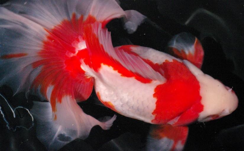 宇和島で土佐錦魚を見た!