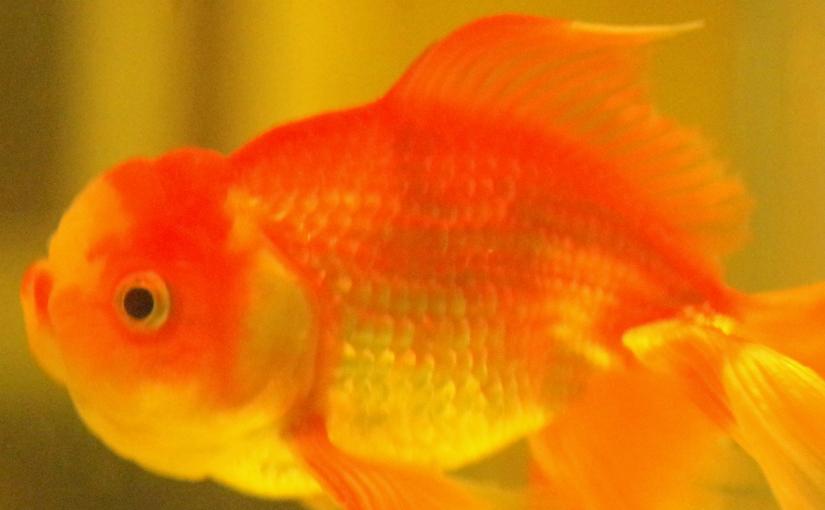 魚華園さん再訪!縁日空間&良い金魚!