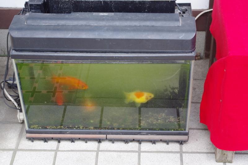 金魚ビギナーですが、何か?